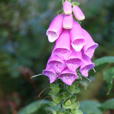 Foxglove on the Oregon Coast