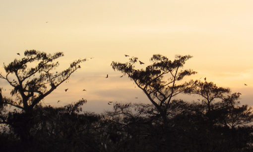 Crows at Sunset in Orlando