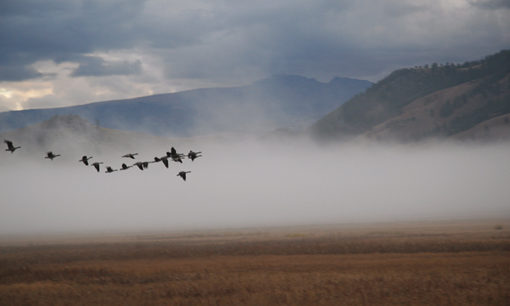 Geese Landing in Jackson Hole